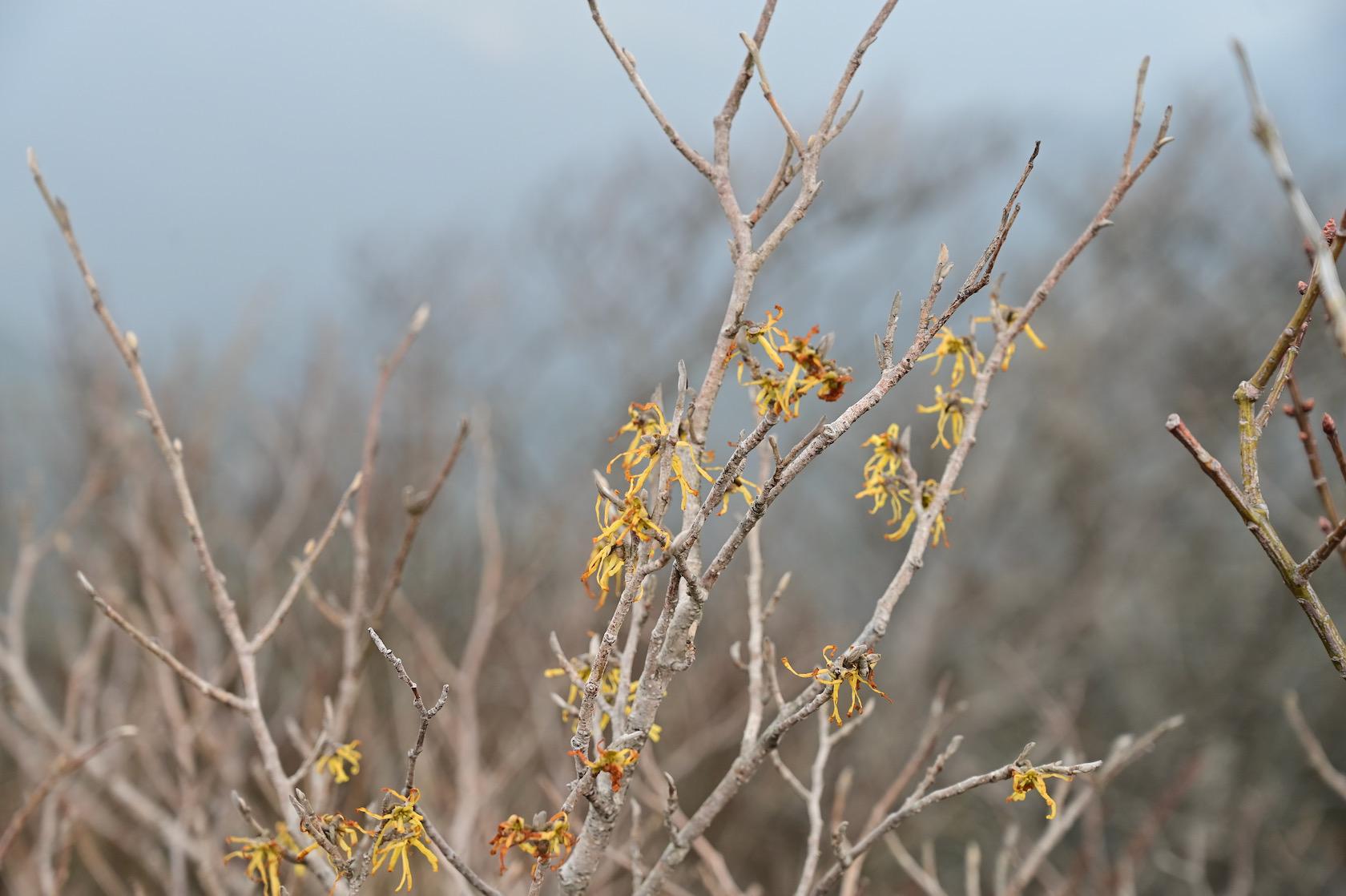 多良岳のマンサク