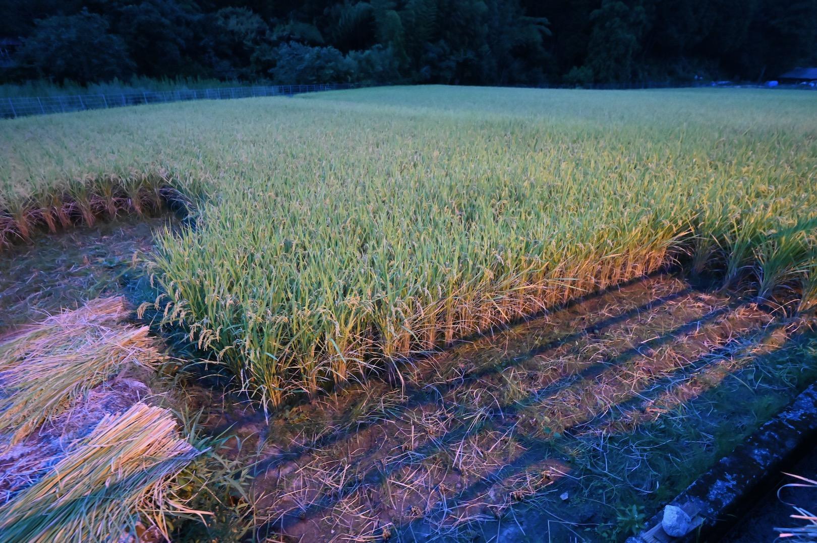 日暮れ後の田んぼ
