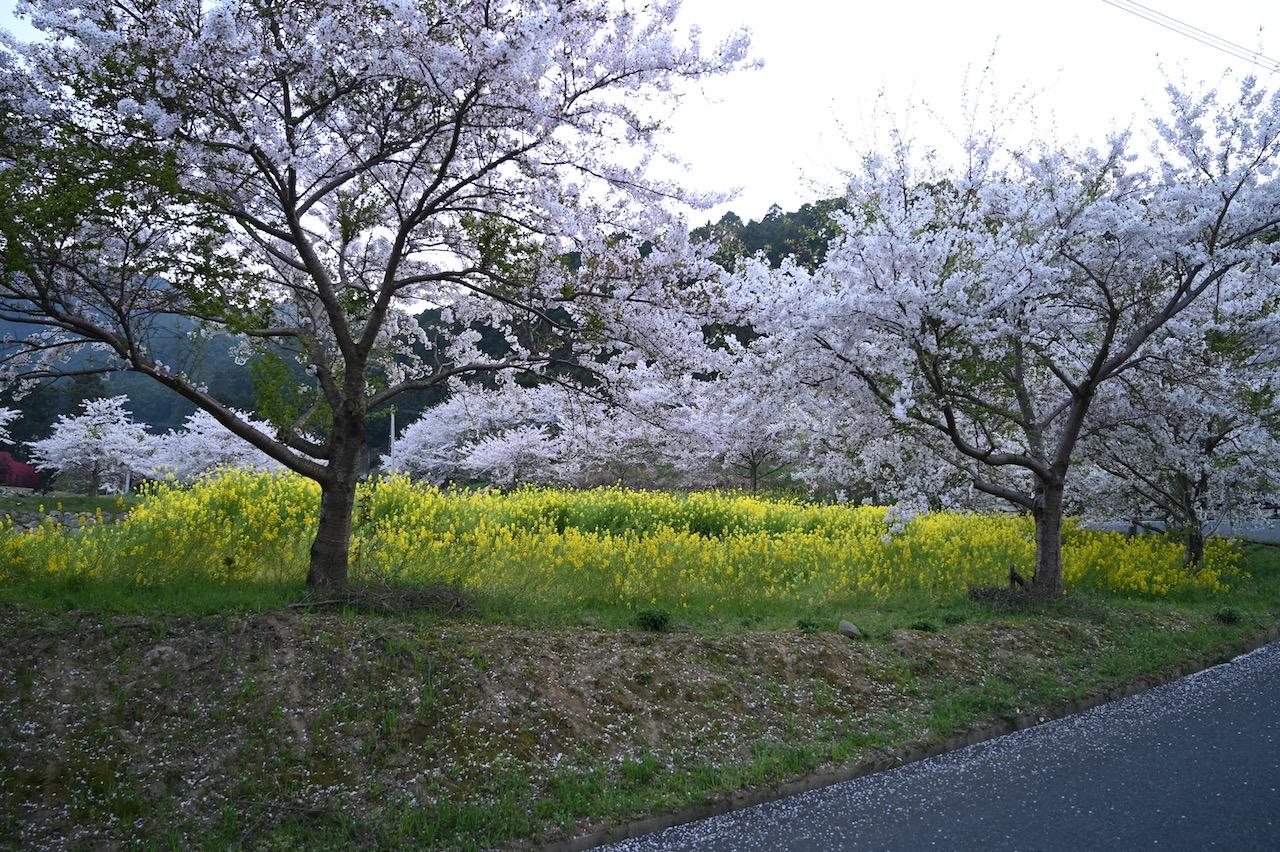 ゆらりんこ橋の桜と菜の花