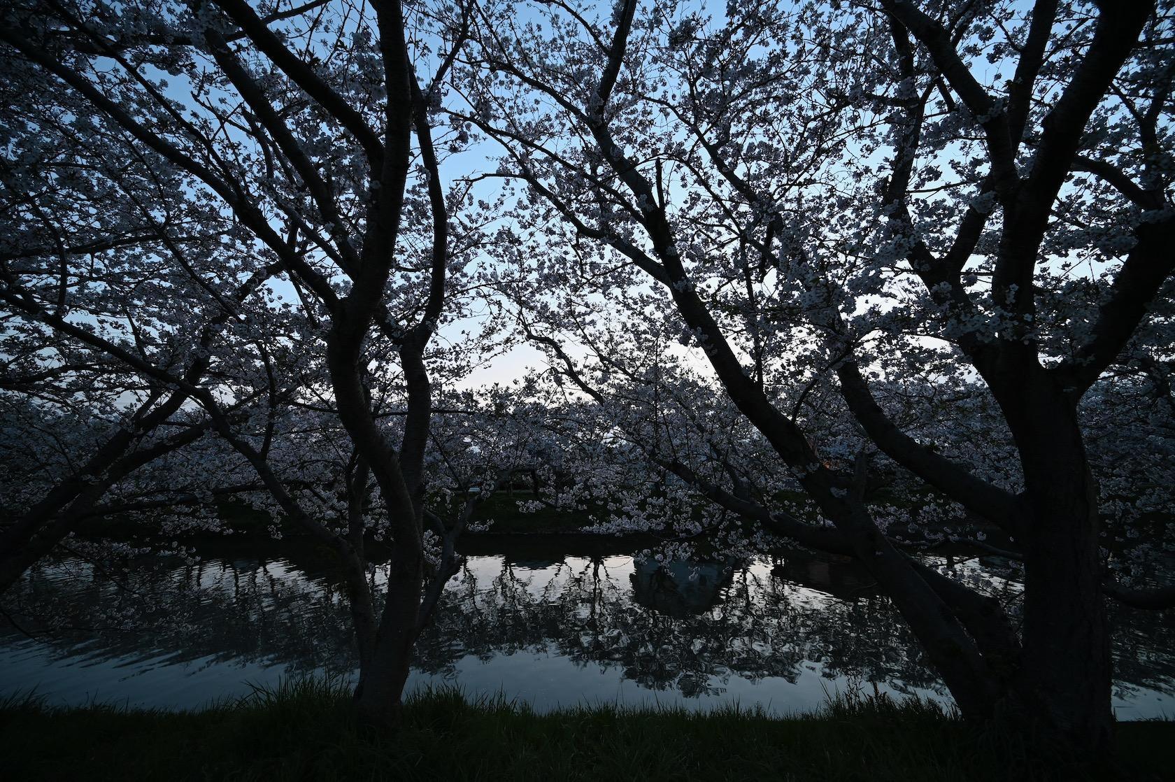 瑞梅寺川の桜
