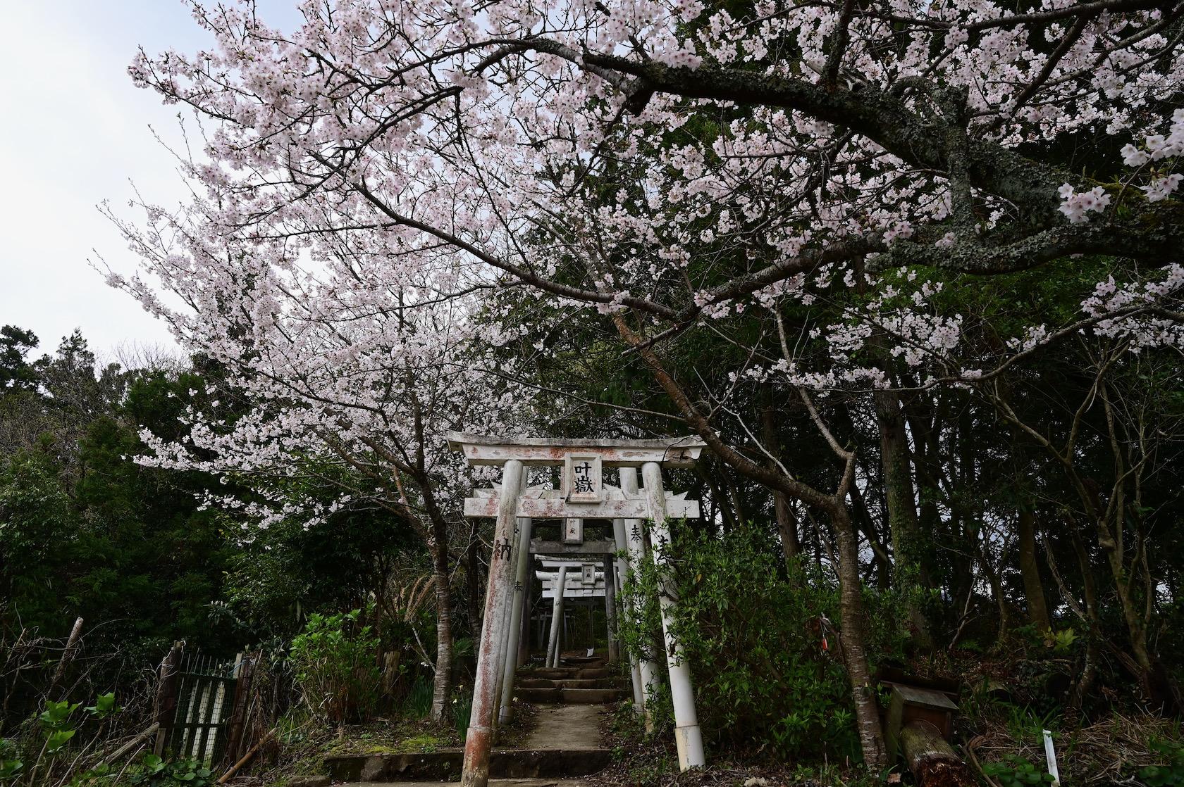 叶岳登山口の桜