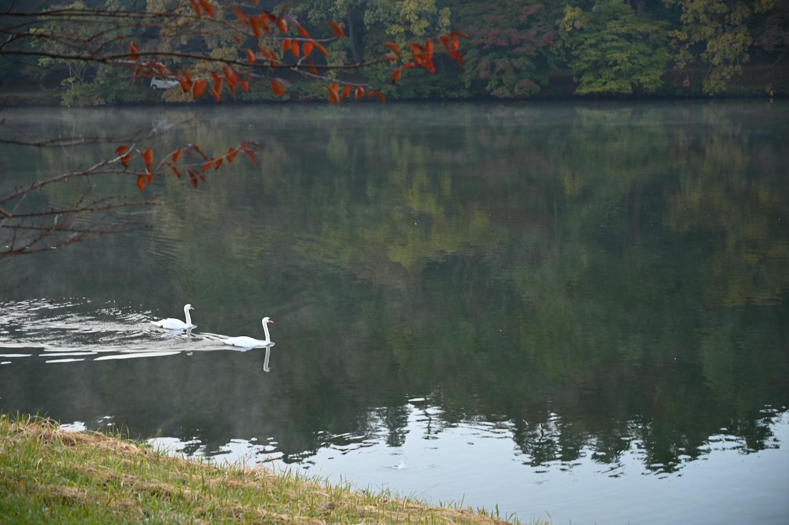 白鳥と志高湖
